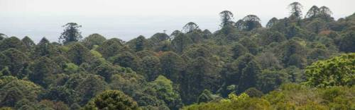Bunya-Mountains-Bunya-Pines